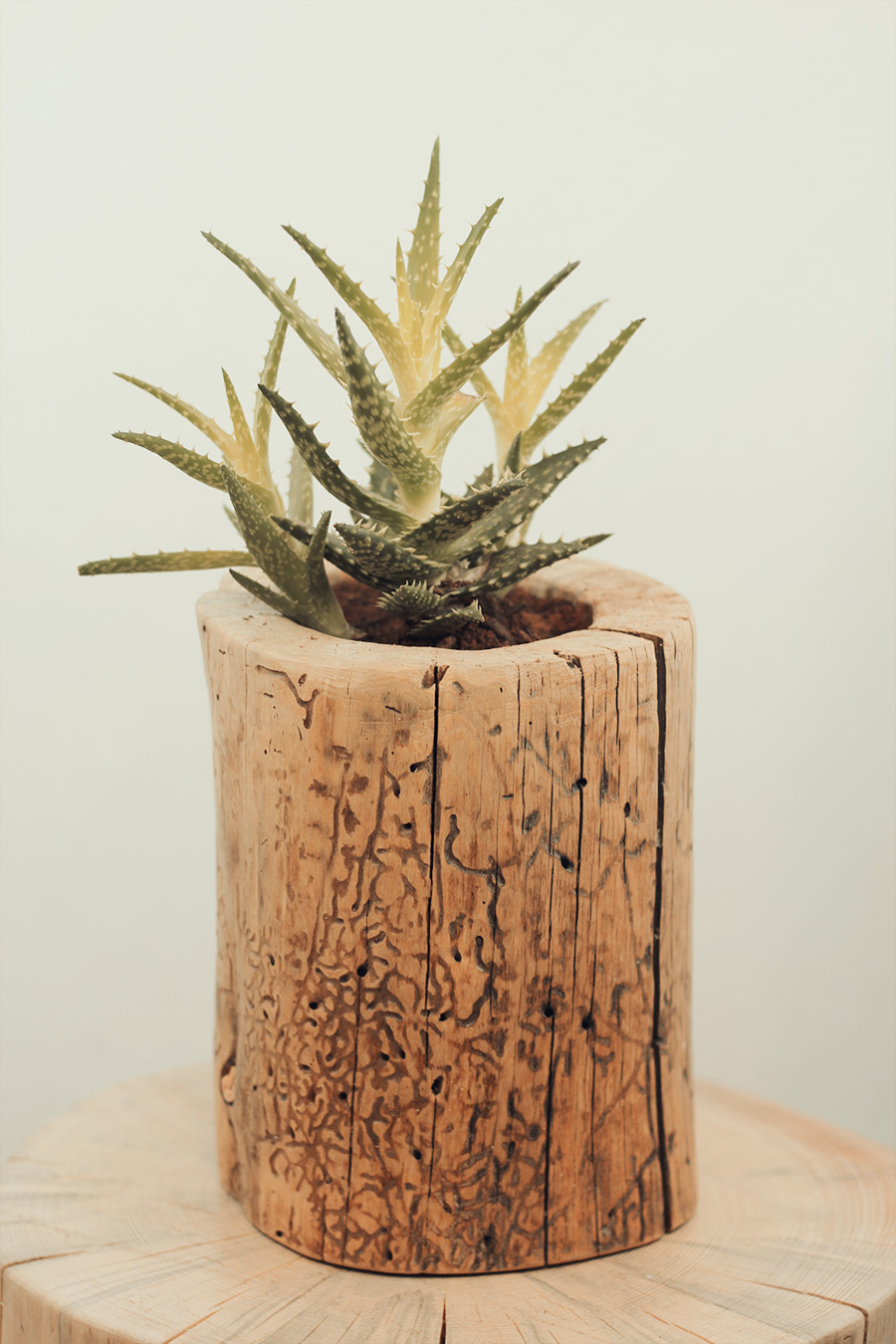 Hollowed log planter with succulent by Jeff Hendrickson