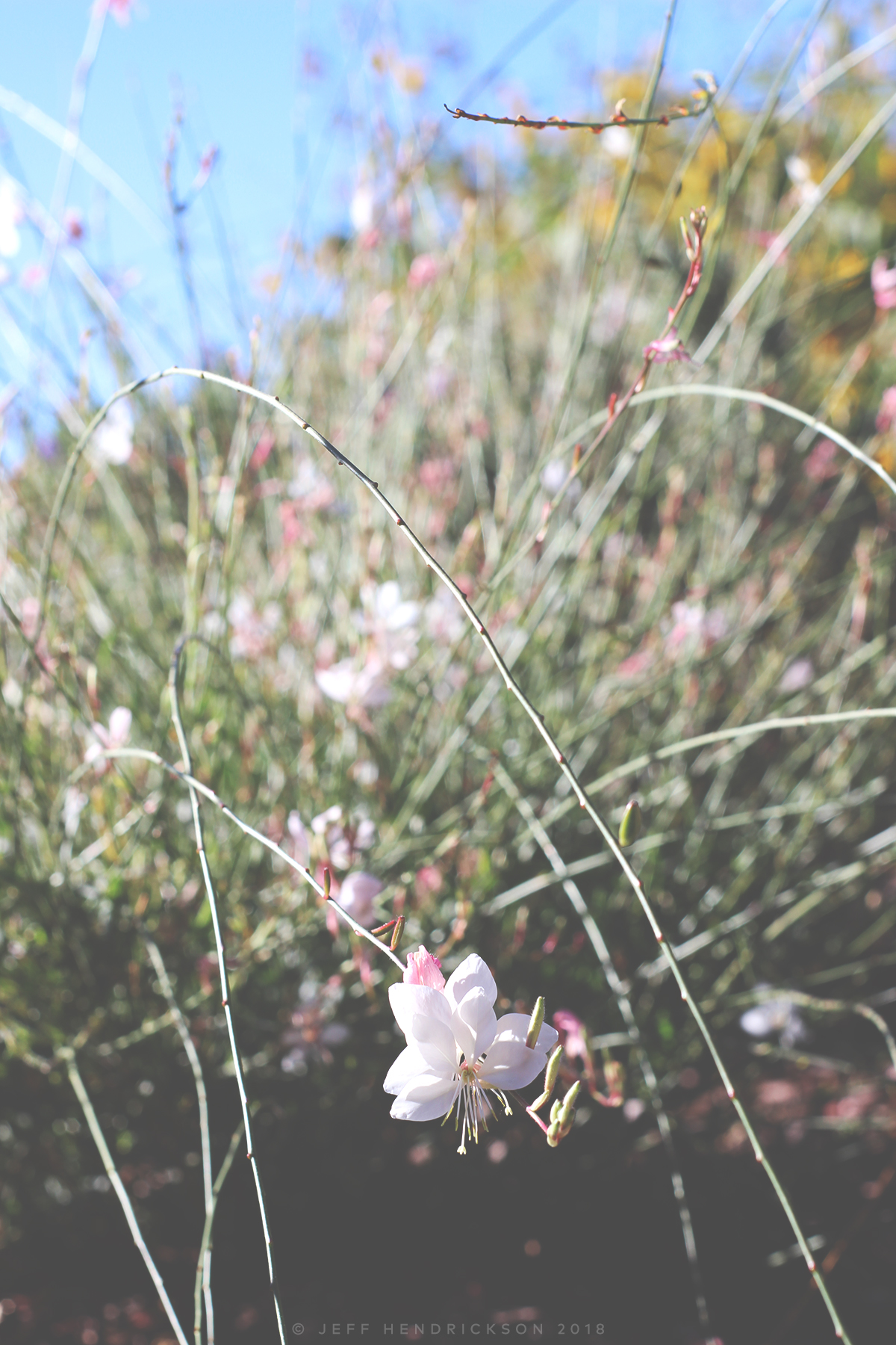 Wandering Butterflies Plant