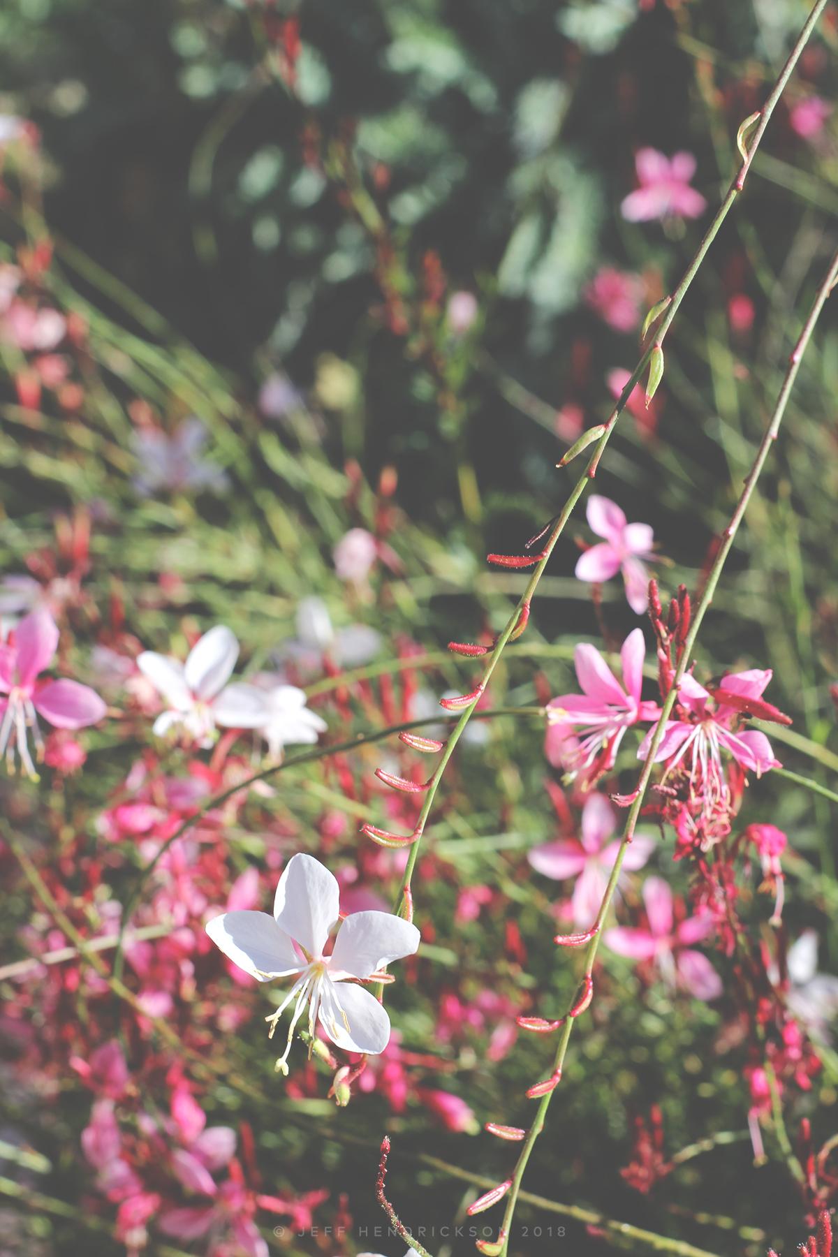 Guara Plant Flowering